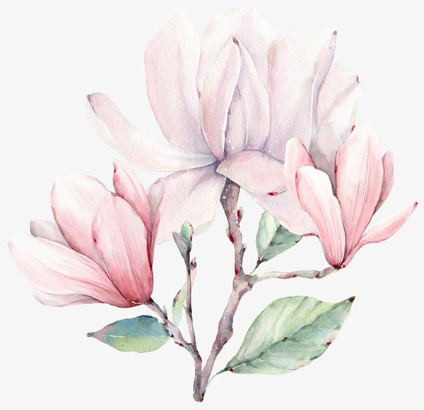 关键词: 手绘粉色玉兰花,木兰,玉兰,玉兰花,白玉兰,粉色白玉兰工笔画
