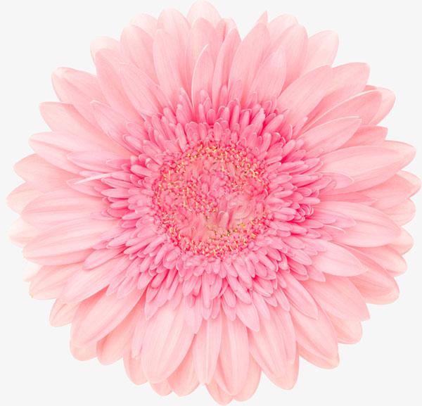 粉色单朵大花