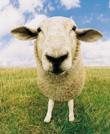 农场动物-羊