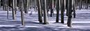全景风光-白桦林