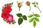 漂亮红玫瑰花卉