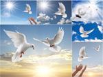 鸽子高清图片