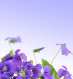 优雅紫色花朵