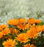 橙色的雏菊