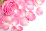 粉红色玫瑰花瓣