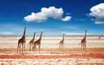 平原上的长颈鹿