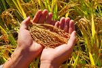 双手捧着稻穗