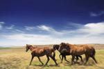 草原上的马匹
