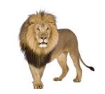 狮子图片素材