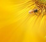 向日葵背景图片