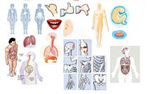 人体器官矢量