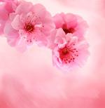 桃花高清图片