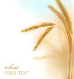 小麦图片2