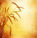 小麦图片3