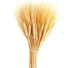 小麦图片4