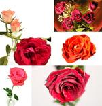 玫瑰花高清图片