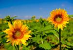 漂亮向日葵