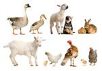 鸭鹅羊狗兔鸡