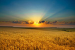 阳光下的麦田2