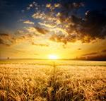 阳光下的麦田4