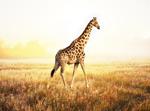 高清长颈鹿