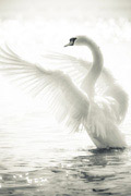 高清白天鹅