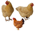 母鸡PSD分层素材