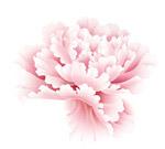 高清牡丹花