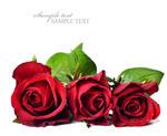 红色娇艳玫瑰