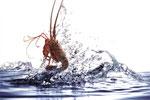 水中小龙虾