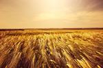 秋天麦地风景