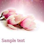 粉色淡雅木兰花