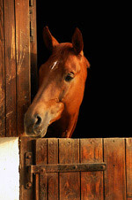 马厩里的马