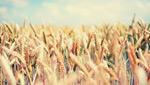 小麦背景图片