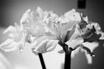 黑白/黑白花朵...