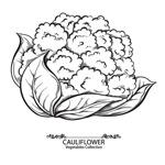 手绘花椰菜矢量