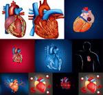 人体心脏器官