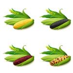 新鲜的玉米