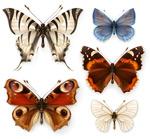 蝴蝶标本矢量