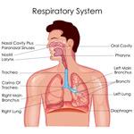 呼吸系统解剖图
