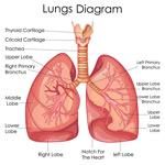 肺部解剖图