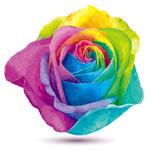水彩色彩玫瑰