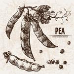 手绘新鲜豌豆
