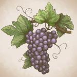 彩绘紫色葡萄