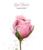 水彩粉红玫瑰