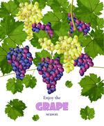 丰收的葡萄