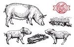手绘猪设计矢量