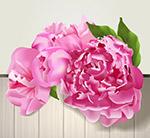 美丽粉色牡丹花