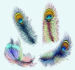 彩绘孔雀羽毛