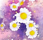 水彩绘雏菊花